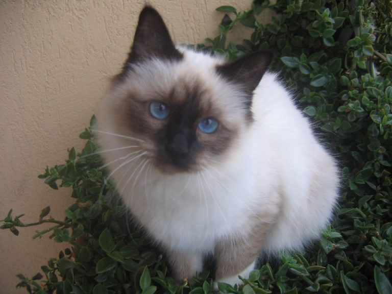 photo chat birman poil court