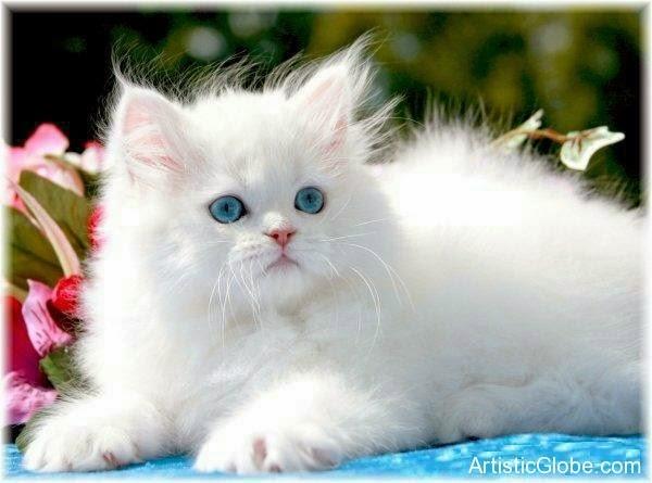 photo photo chat blanc