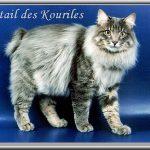 Chat Bobtail des Kouriles