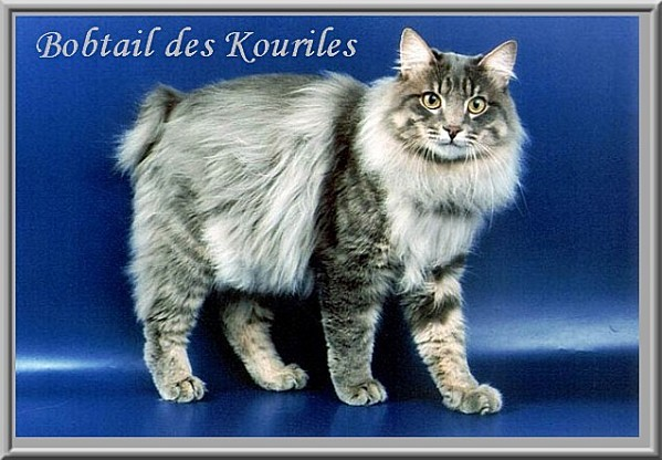 photo chat bobtail des kouriles