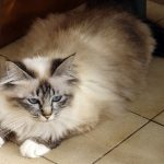 chat de birmanie