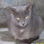 Chat européen bleu