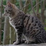 chat gouttiere