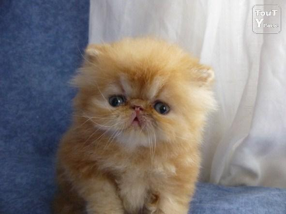 photo chat persan roux