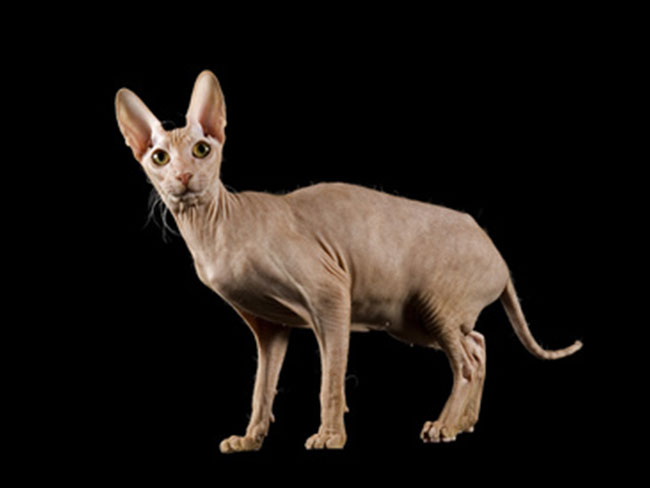 photo chat peterbald