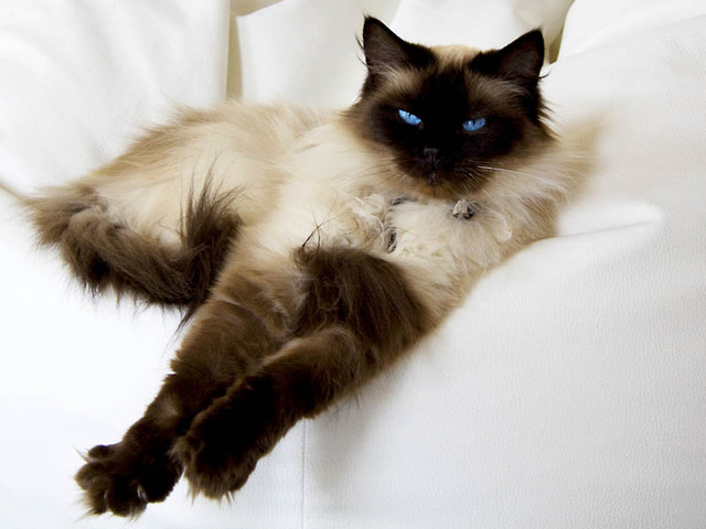photo chat ragdoll