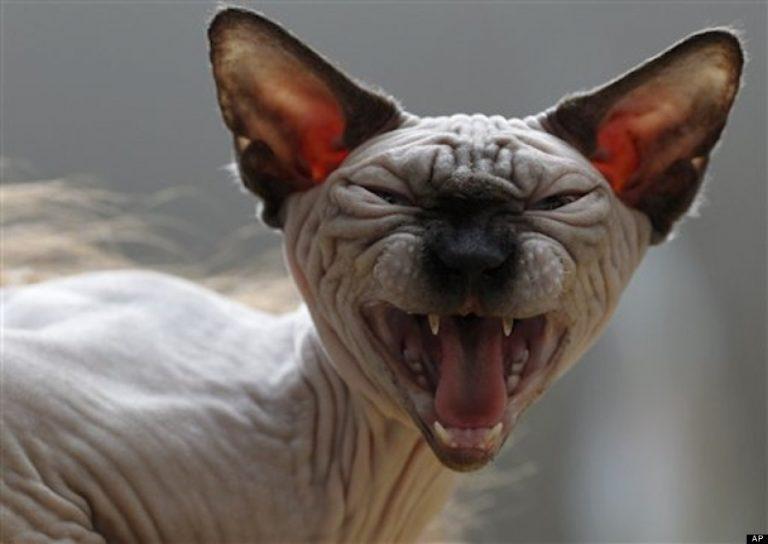 photo photo chat sans poil