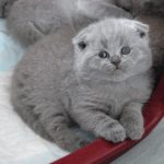 Chat scottish fold gris