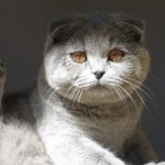 Chat scottish fold gris