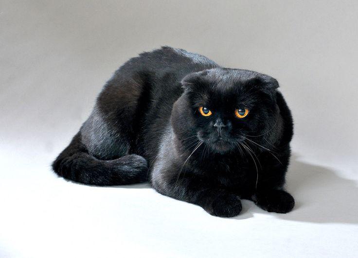photo chat scottish fold noir