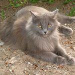 Chat sibérien gris