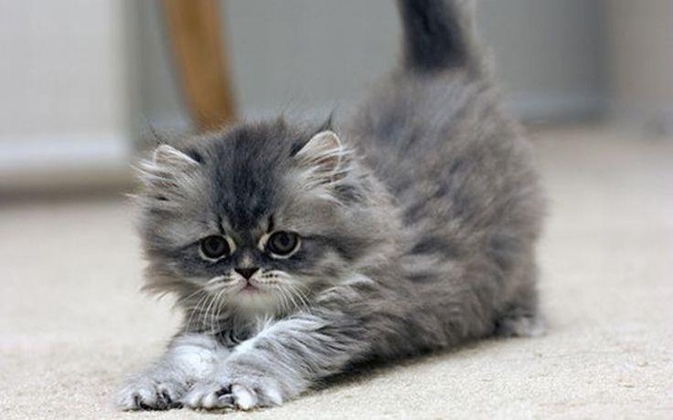 photo chat sibérien gris