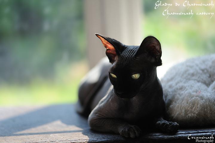 photo chat sphynx noir