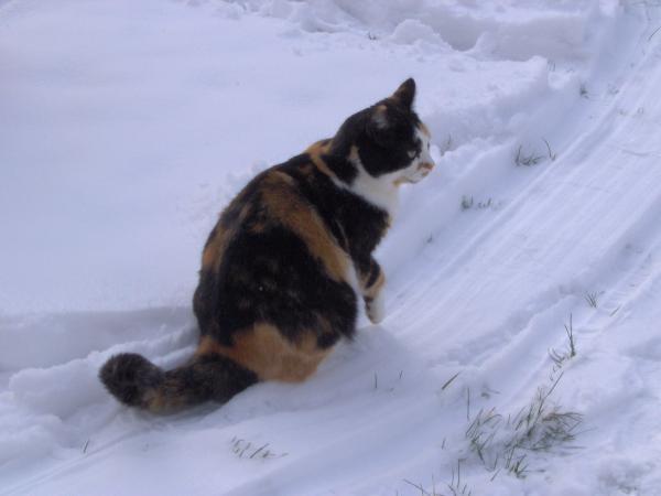 photo photo chat dans la neige
