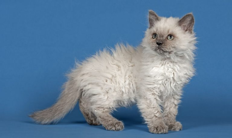 photo chat selkirk rex