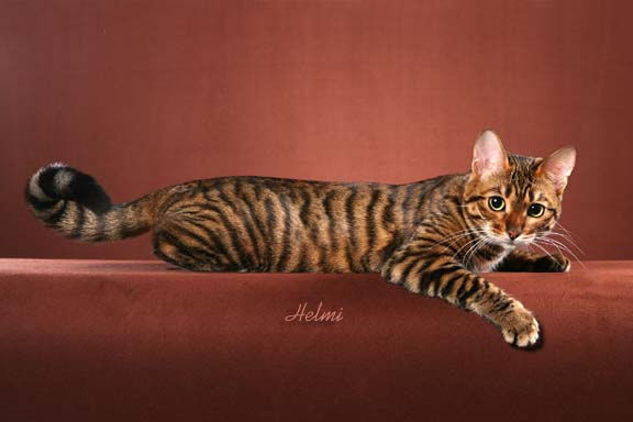 photo chat toyger