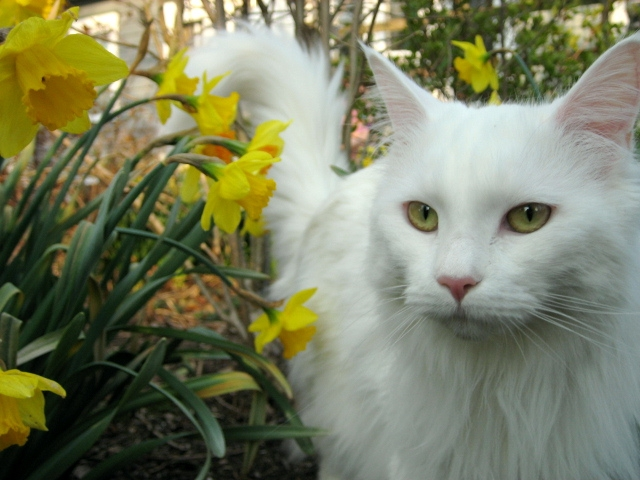 photo maine coon blanc
