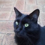 Angora turc noir
