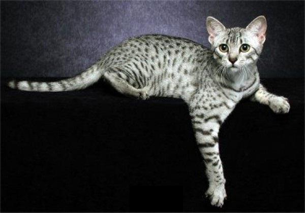photo chat bengal blanc
