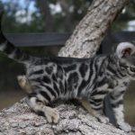 chat gris cendré