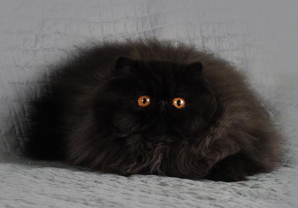 photo chat persan noir