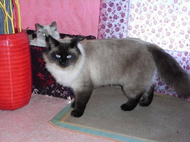 photo photo chat sacré de birmanie