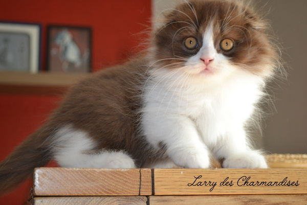 photo chat scottish fold blanc