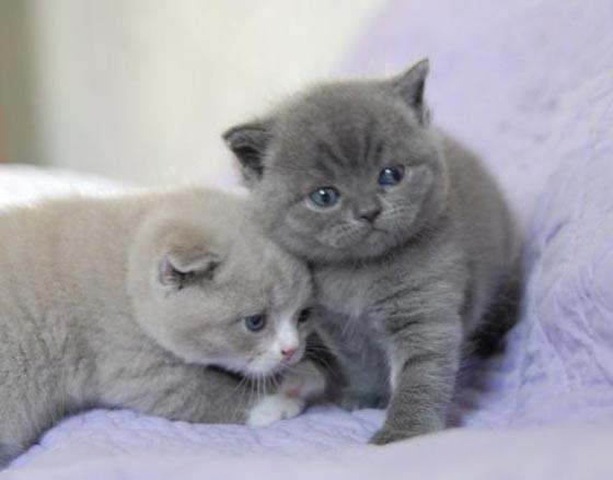 photo chat scottish fold gris