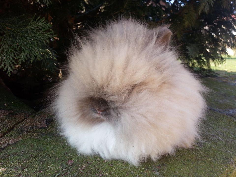 Complètement et trop extrême Photo chat siamois angora @HI_94