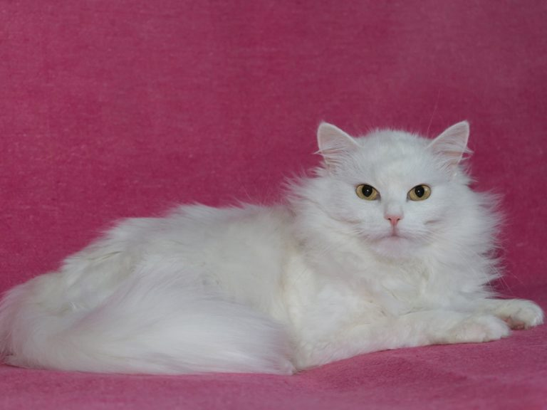 photo photo chat angora turc