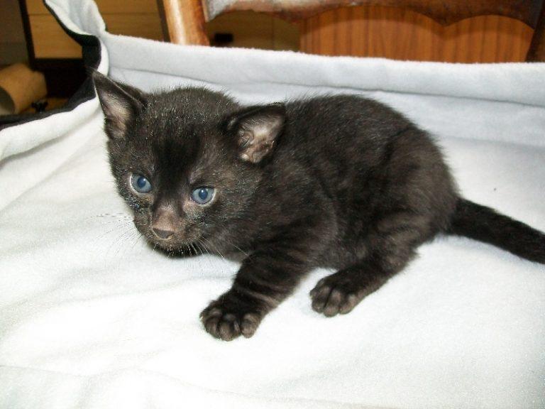 photo chat bengal noir