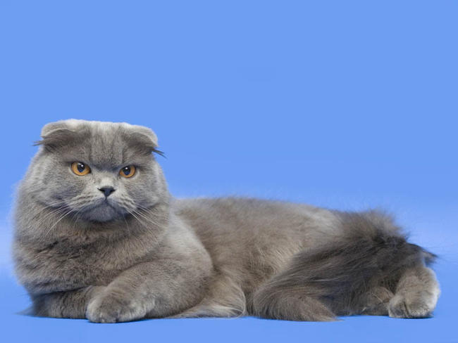 photo chat chartreux poil long