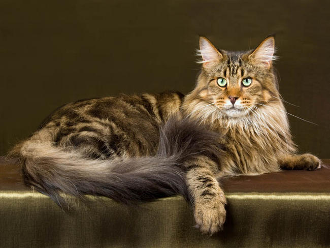 photo chat maine coon