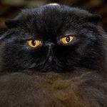 Chat persan noir
