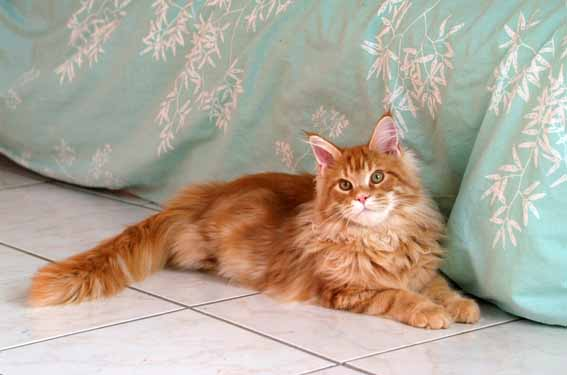 photo maine coon roux