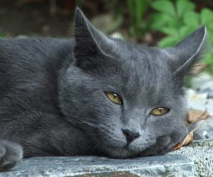 British shorthair gris