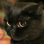 British shorthair noir