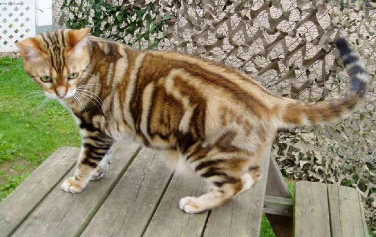 photo chat american shorthair