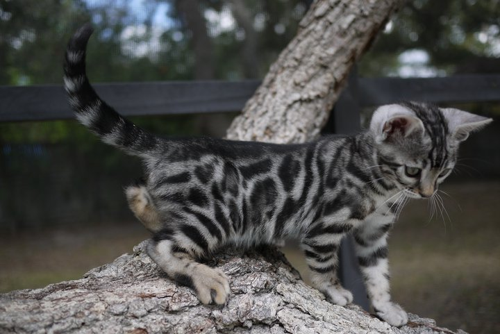 photo chat bengal gris