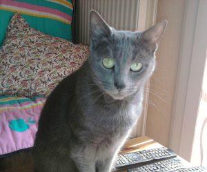 Chat bleu russe angora