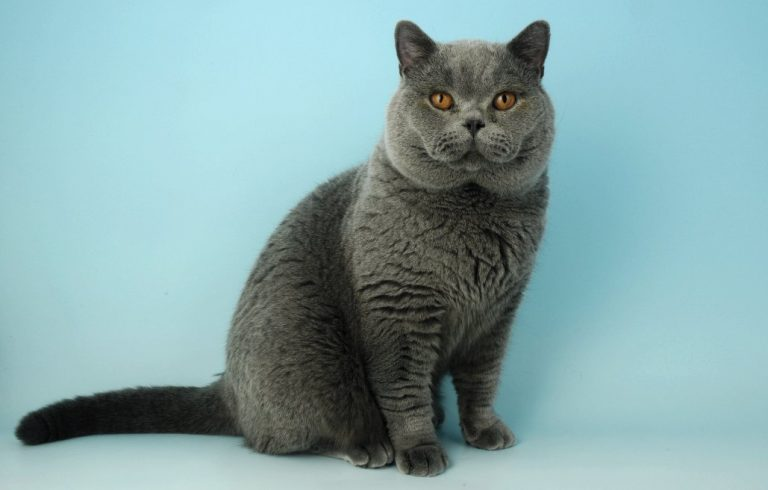 photo chat brazilian shorthair