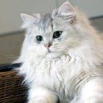 Chat British longhair