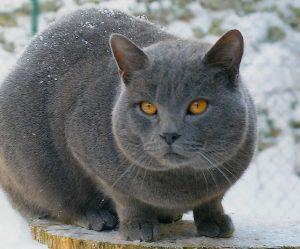 Chat chartreux gris