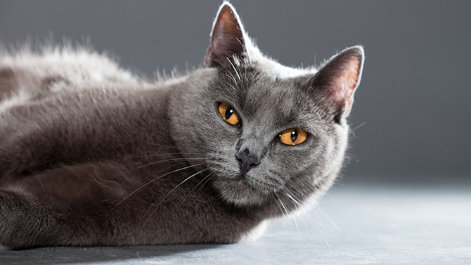 photo chat chartreux gris