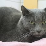 Chat chartreux yeux vert