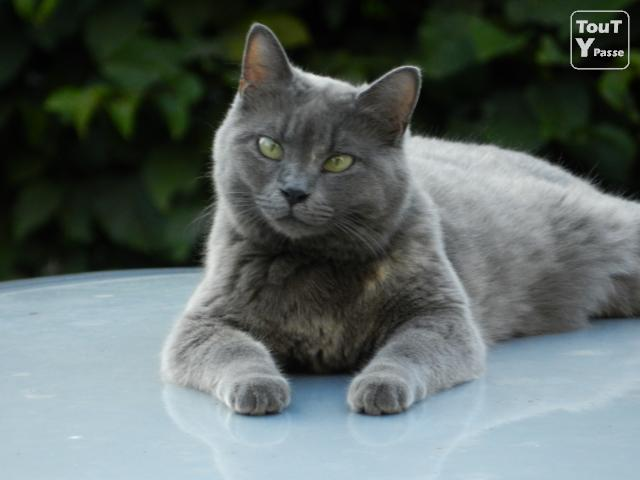 photo chat chartreux yeux vert