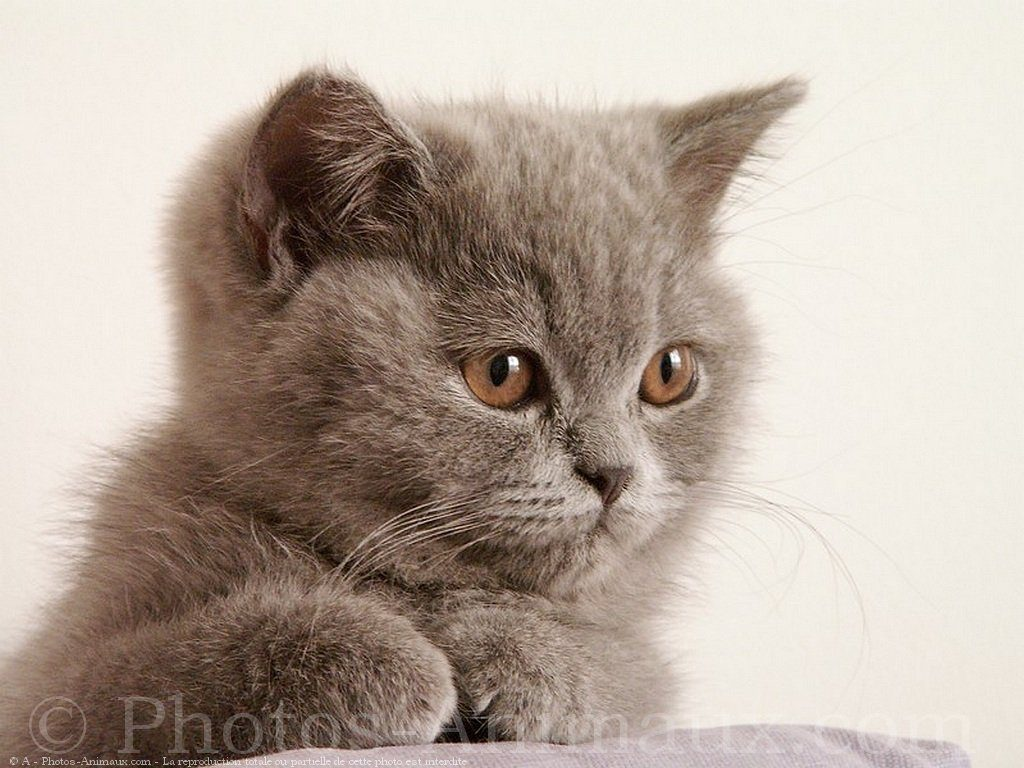 Chat Colorpoint shorthair