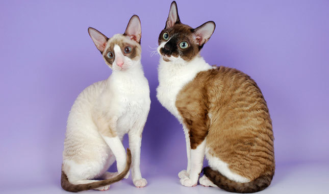 photo chat cornish rex