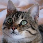 Chat European shorthair