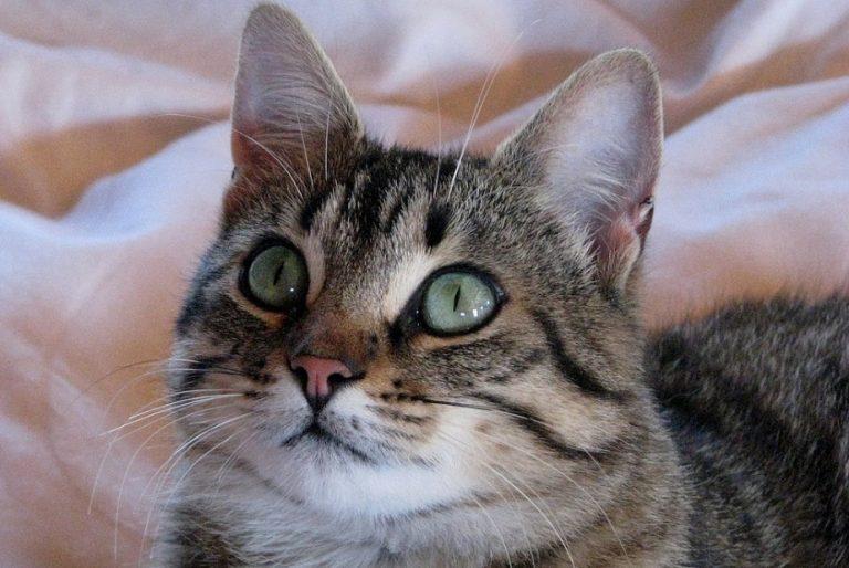 photo chat european shorthair
